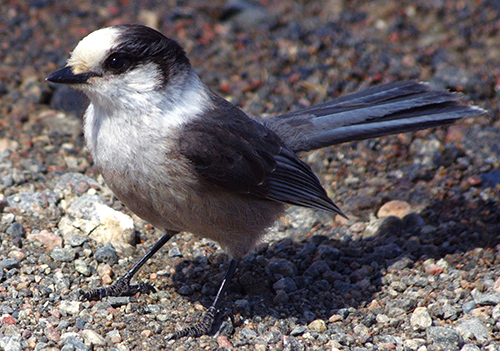 Grey Jay - Labrador's Bird