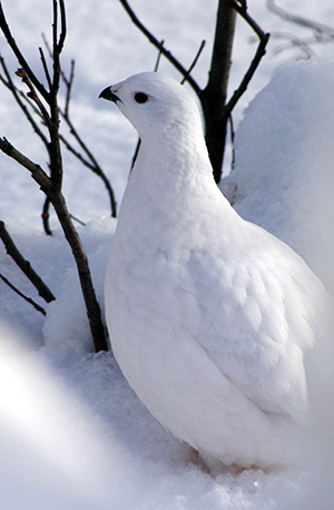 Willow Ptarmigan with Winter Plumage